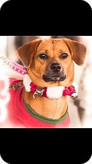 Beagle/Basset Hound Mix Dog for adoption in Haggerstown, Maryland - Dallas