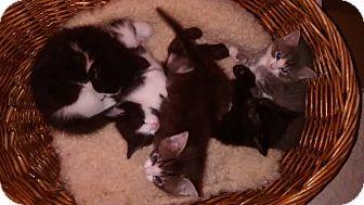 Domestic Shorthair Kitten for adoption in Chicago, Illinois - Six Kittens