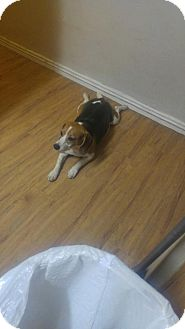 Beagle Dog for adoption in Phoenix, Arizona - Rosie