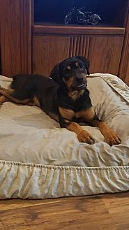 Rottweiler Puppy for adoption in Fort Worth, Texas - Sylvester