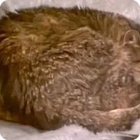 Domestic Shorthair Cat for adoption in Alexandria, Virginia - Clyde (a very special senior kitty)