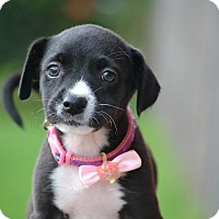 Labrador Retriever/Border Collie Mix Puppy for adoption in Bedminster, New Jersey - Cersei