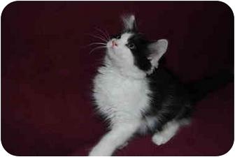 Domestic Mediumhair Kitten for adoption in Modesto, California - Pheobe
