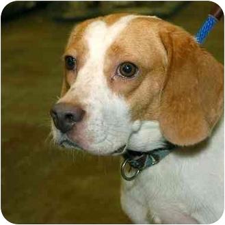 Beagle Dog for adoption in Stafford, Virginia - Bashful