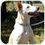 Photo 2 - Labrador Retriever/German Shepherd Dog Mix Dog for adoption in Berkeley, California - Buddy