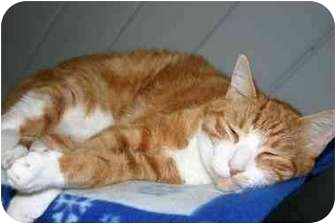 American Shorthair Cat for adoption in Lake Ronkonkoma, New York - Neil