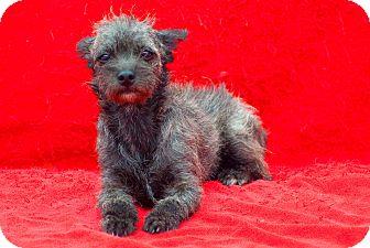 Border Terrier/Schnauzer (Miniature) Mix Puppy for adoption in El Cajon, California - MILLIE