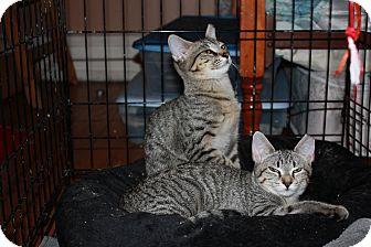 Domestic Shorthair Kitten for adoption in Chicago, Illinois - Aspen