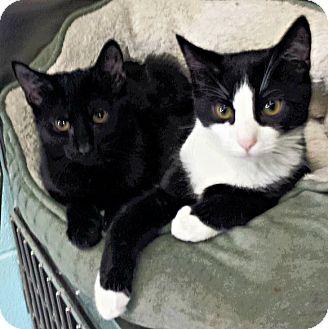 Domestic Shorthair Kitten for adoption in Union, New Jersey - Juniper