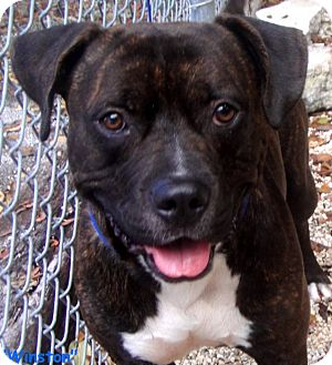 Pit Bull Terrier Mix Dog for adoption in Key Largo, Florida - Winston