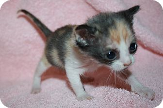 Domestic Shorthair Kitten for adoption in Houston, Texas - Rose