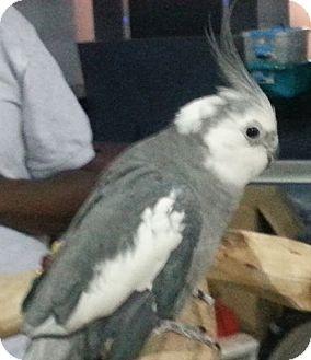 Cockatiel for adoption in Lenexa, Kansas - Apollo