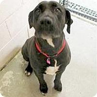 Adopt A Pet :: Daisy great dog - Sacramento, CA