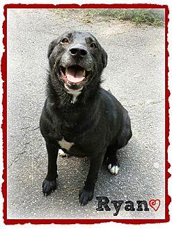 Shepherd (Unknown Type)/Labrador Retriever Mix Dog for adoption in Chester, Connecticut - Ryan