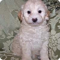 Adopt A Pet :: Mika - La Habra Heights, CA