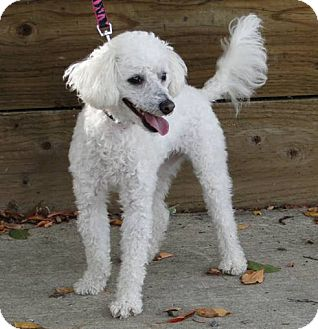 Poodle (Miniature) Dog for adoption in Walnut Creek, California - Billie Jean