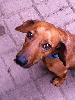 Dachshund Mix Dog for adoption in Pearland, Texas - Shooter