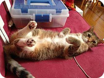 Domestic Shorthair Cat for adoption in East Smithfield, Pennsylvania - Gaia