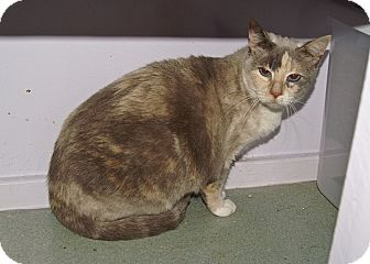 American Shorthair Cat for adoption in Englewood, Florida - Sweetie