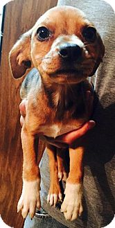 Catahoula Leopard Dog/Labrador Retriever Mix Puppy for adoption in Dumfries, Virginia - Bree