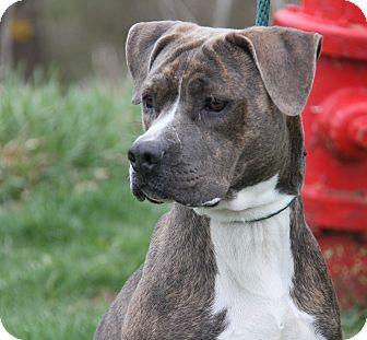 Boxer/Terrier (Unknown Type, Medium) Mix Dog for adoption in Marietta, Ohio - Minnie (Spayed)