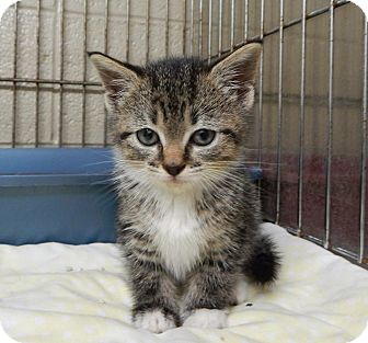 Domestic Shorthair Kitten for adoption in Edgewater, New Jersey - Katie PREADOPTED