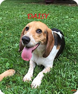 Beagle Dog for adoption in Ventnor City, New Jersey - DAISY