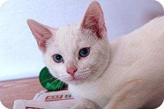 Domestic Shorthair Cat for adoption in St. Louis, Missouri - Dulin