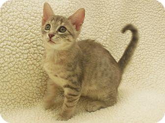 American Shorthair Kitten for adoption in Burgaw, North Carolina - Stormy