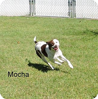 English Springer Spaniel Dog for adoption in Slidell, Louisiana - Mocha