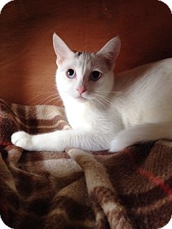 Siamese Cat for adoption in Grand Junction, Colorado - Opal