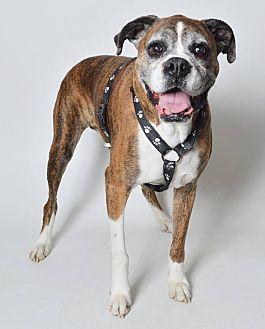 Boxer Dog for adoption in Boise, Idaho - BUDDY