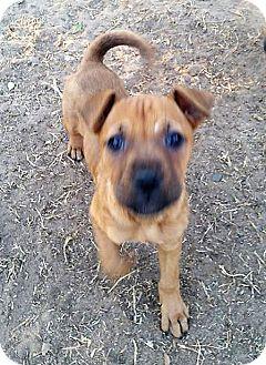 Boxer Mix Puppy for adoption in Wichita Falls, Texas - Star