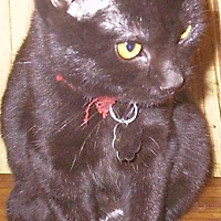 Domestic Shorthair Cat for adoption in Moundsville, West Virginia - Carley
