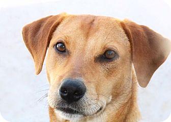 Beagle Mix Dog for adoption in Austin, Texas - Roxy