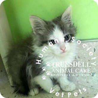 Domestic Shorthair Kitten for adoption in Janesville, Wisconsin - Grover
