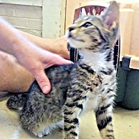 Domestic Shorthair Kitten for adoption in Sidney, Maine - Cloudy