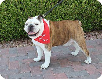 English Bulldog Dog for adoption in Las Vegas, Nevada - BONES