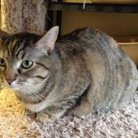 Domestic Shorthair/Domestic Shorthair Mix Cat for adoption in Larned, Kansas - Miss Kitty