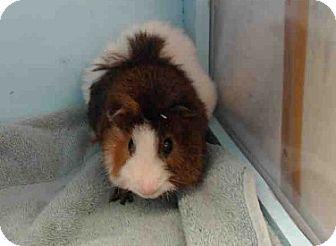 Guinea Pig for adoption in Fullerton, California - *Urgent* Gump