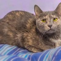 Domestic Shorthair/Domestic Shorthair Mix Cat for adoption in Palm Coast, Florida - CURIOUS
