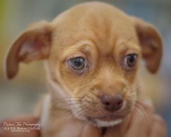 Terrier (Unknown Type, Small) Mix Dog for adoption in Santa Fe, Texas - Butterscotch