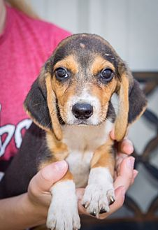 Beagle/Beagle Mix Puppy for adoption in Boonsboro, Maryland - Garth