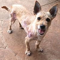 Adopt A Pet :: Holly Sunshine - Bedminster, NJ