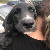 Adopt A Pet :: Suzy Q - Manchester, NH