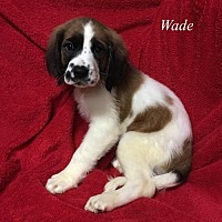 Adopt A Pet :: Wade - Chester, IL