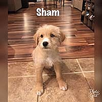 Adopt A Pet :: Fluffies Sham - Chantilly, VA