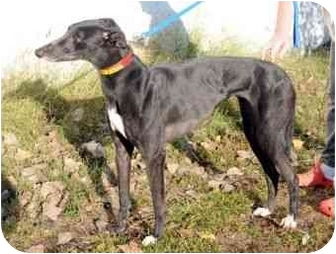 Greyhound Mix Dog for adoption in Wayne, Michigan - Betty