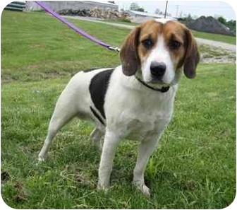 Hound (Unknown Type) Mix Dog for adoption in Florence, Indiana - Gus