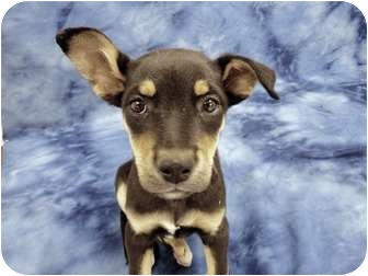 Shepherd (Unknown Type)/German Shepherd Dog Mix Puppy for adoption in Broomfield, Colorado - Hannah